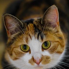 Floortje my cat by Amanda Blom - Animals - Cats Portraits ( face, cat, cute, callico, portrait, animal, eyes,  )