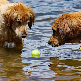 Who gets it? by Kari Schoen - Animals - Dogs Playing (  )