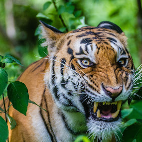 Priceless by Vamsi Korabathina - Animals Lions, Tigers & Big Cats ( tiger, roar, anger, wildlife, telephoto )