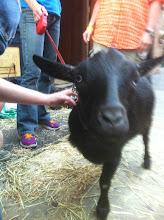Photo: Simon the Goat at Bar.