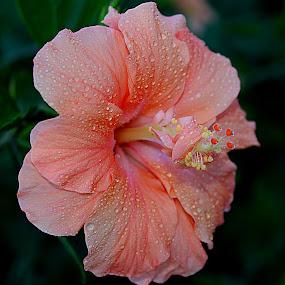 by Carmen Quesada - Flowers Single Flower ( hibiscus, single, waterdrops, flowers, close up, floral )