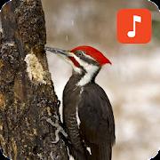 Woodpecker Bird Sounds