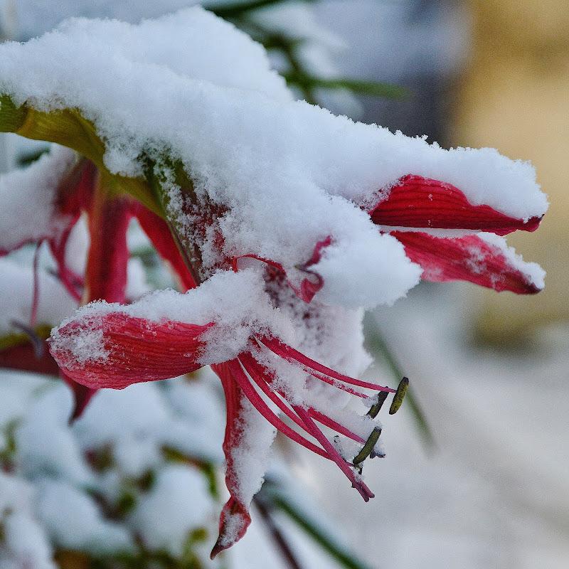 Fiore innevato di walter_bianchi