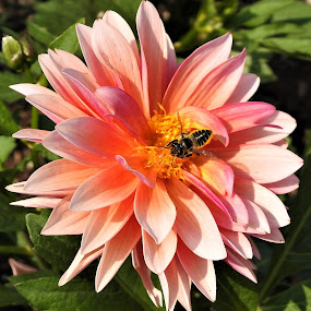 Collecting by Carol Leynard - Flowers Single Flower ( bee, dahlia, pink flower, collecting pollen,  )