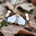 Tiger Moth (Day-flying Moth)