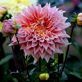 FLR1 190216 by Anup Kumar Adhikari - Flowers Flower Arangements