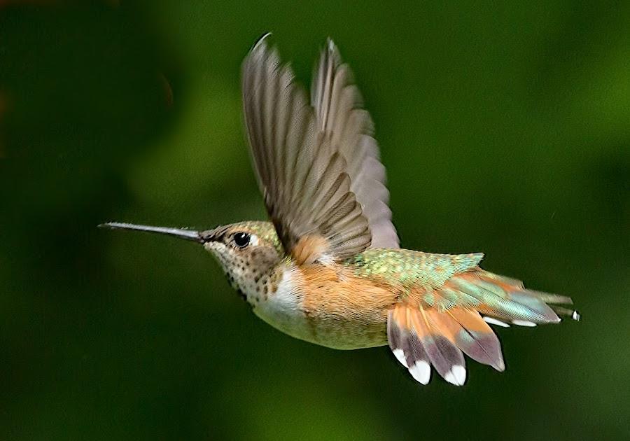 Hummingbird by Sheldon Bilsker - Animals Birds ( bird, flight, nature, hummingbird, animal )