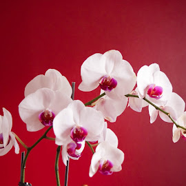 Orchids by Anita Narani - Flowers Flower Arangements ( orchids, still photography, flowers )