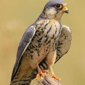 Amur Falcon. by Dirk Luus - Animals Birds ( bird, billed, animals, kite, yellow )