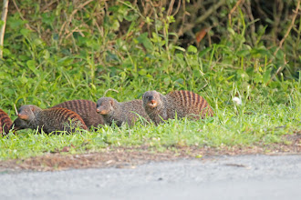 Photo: Banded Mongooses