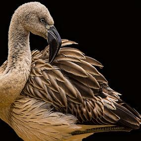 Young Lesser Flamingo by Robert Mullen - Animals Birds ( bird, lesser flamingo, nc, sylvan heights bird park, flamingo, juvenile, birds, north carolina,  )