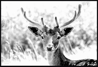 Photo: The young male fallow deer is known as a buck
