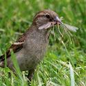 House Sparrow (Female With Damselflies)