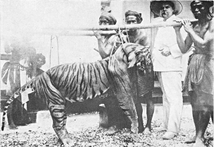 bali tiger.jpg