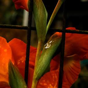 Dew  by Hrijul Dey - Flowers Flower Arangements ( orange, canna, plants, juicy, flower,  )