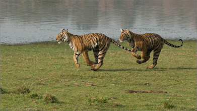 Photo: #india #nature #raymond #prints  Tiger Siblings on the Run!!  Hosting this recent tour to India was a pure blast! Such awesome guests, so much fun!  Special thanks to all my friends in India who follow my work, and enjoy the gift of nature. We all need to appreciate, and protect our natural world before its too late.  Respect is everything, please treat all wild creatures with kindness, so they will continue to provide a very special entertainment for all future generations to come.  High definition prints are available - just email me, ray@raymondbarlow.com  My next tour in June is ready to go... would you like to Join us?  Raymond   #bengal #indianature  #royalbengal #wildlife #nature  #ranthambore #raymondbarlow #naturephotos #bengaltiger #tigers #animal #animallovers #animalphotography #nature #phototour  #raymond  #green #nature #naturephotography #phototours  #wildlife #travel #adventure  #whatshot #wildlifephotographers #wildlife  #canadianphotographer