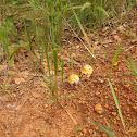 Caesars mushroom