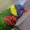 Colorful Bird in Durban.jpg