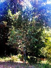 Photo: Oak saplings.