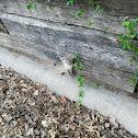 Gray fox pup