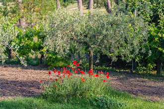 Photo: In the garden at Villa Aureli - olive tree and poppies