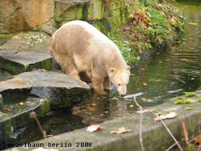Photo: Knut testet die Wassertemperatur ;-)