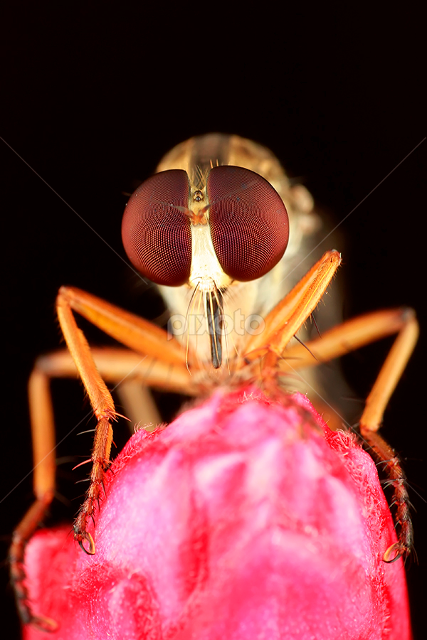 its me by Bobby Worotikan - Animals Insects & Spiders ( robberfly macro animal insect )