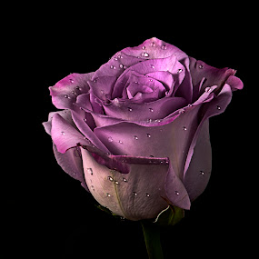 Rose in Lilac tone by Cristobal Garciaferro Rubio - Nature Up Close Flowers - 2011-2013 ( lilac, petals, drop, drops, raindrops, lilac tone, flowers, flower, petal )