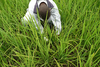 Photo: Moses Kareithi counting tillers [Photo Courtesy of Bancy Mati]