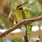 Rainbow Bee-eater (female)