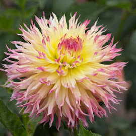 So Pretty by Janet Marsh - Flowers Single Flower ( more dahlias, pink and yellow )