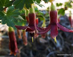 Photo: Sierra Gooseberry, Ribes roezlii