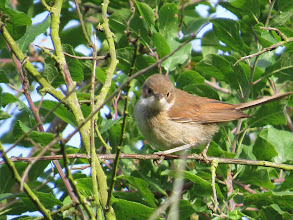 Photo: 16 Jul 13 Priorslee Lake: This Whitethroat looks almost threatening! The brown on the head means it is a female or juvenile (males are grey): the apparent dark iris suggests a juvenile. (Ed Wilson)