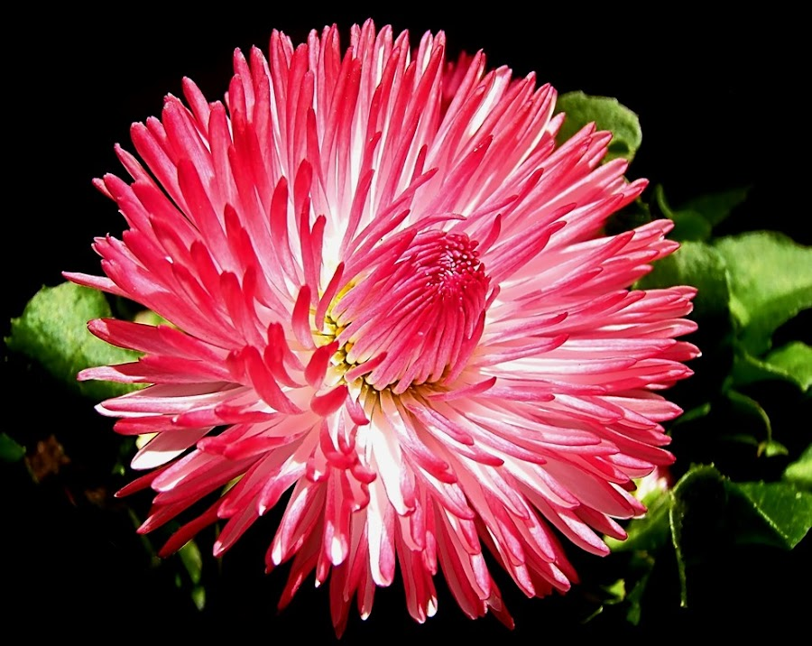 red daisy by Mirela Korolija - Nature Up Close Flowers - 2011-2013
