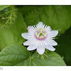 Passiflora foetida 龍珠果