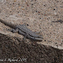 Ornate tree lizard
