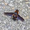"""Bee Fly / माखा - """"झिंगा"""""""