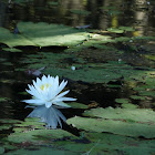 White Water Lilly