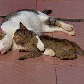 Mother and kitten  by Aung Kyaw Soe - Animals - Cats Playing