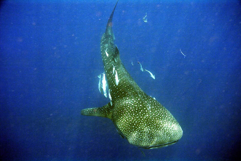 Photo: #063-Requin-baleine