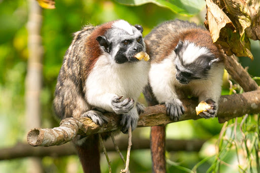 Tamarin or titi monkeys enjoying a treat at Monkey Island in Panama.