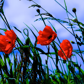 Poppies... by Ian Cormack - Nature Up Close Flowers - 2011-2013 ( poppies, flowers )