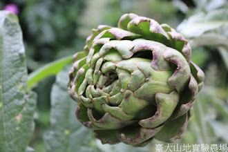 Photo: 拍攝地點: 梅峰-溫帶花卉區 拍攝植物: 朝鮮薊 拍攝日期: 2015_05_29_FY