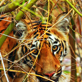 EYE TO EYE by Amitava Banerjee - Animals Lions, Tigers & Big Cats ( face, carnivore, looking., tiger, cub,  )