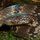 Brown Ground Snake
