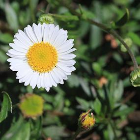 Tiny Daisy  by Lauren Manzano - Flowers Flower Buds