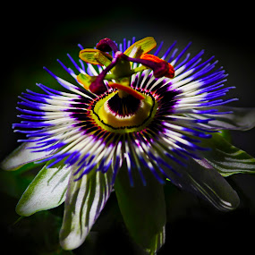 Passion flower  by Edit Peterffy - Nature Up Close Flowers - 2011-2013 ( nature, blue, edit, passion flower, close up )