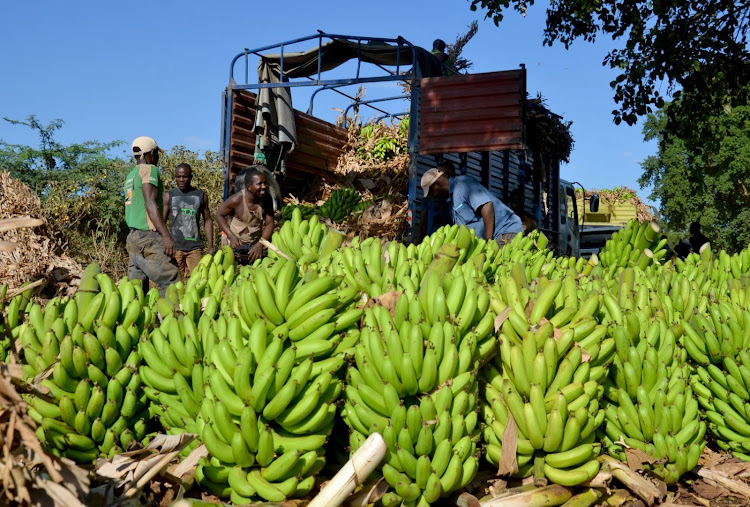 Farmers load banana onto a lorry at Kimala in Taita Taveta county. The farmers hope value addition will guarantee a steady market and improved income.
