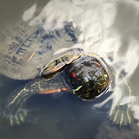 Curious turtle  by Emma King - Animals Reptiles (  )