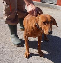 Photo: Zaza,120-14,oko 4 godine,u tipu lovačkog psa,mirna i draga